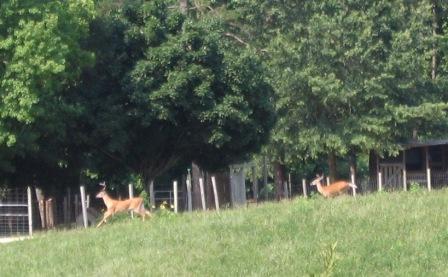 deer-w.jpg