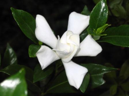 gardenia-w.jpg