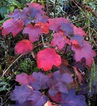 oakleafhydrangea-fall.jpg