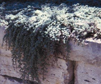 thymusserpyllum.jpg