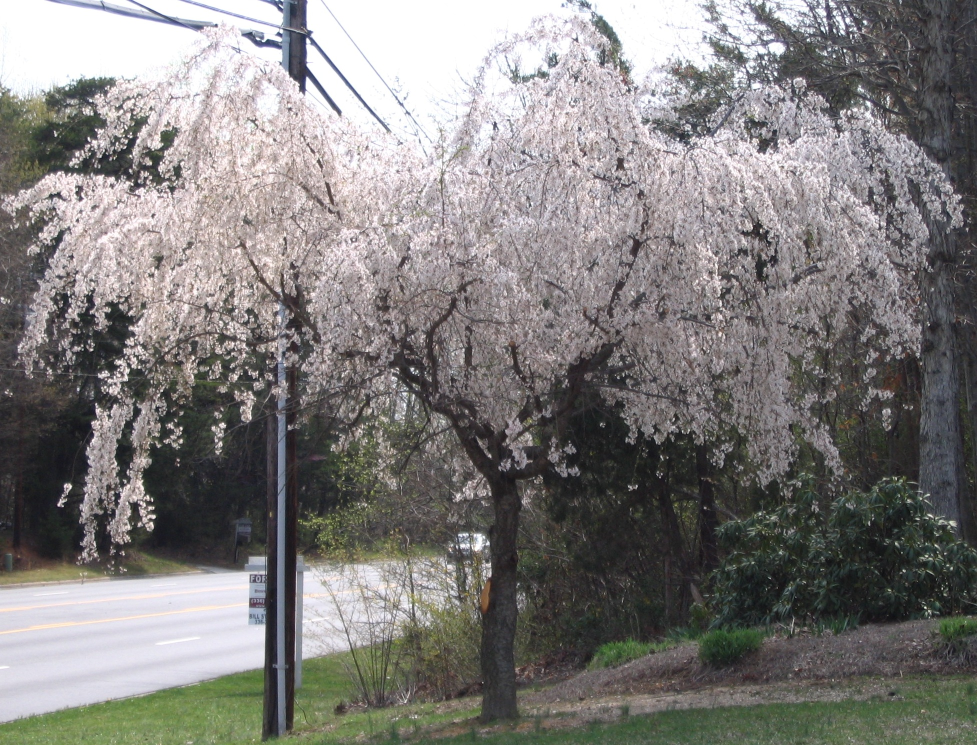 Weeping+cherry+tree+leaves+curling+garden