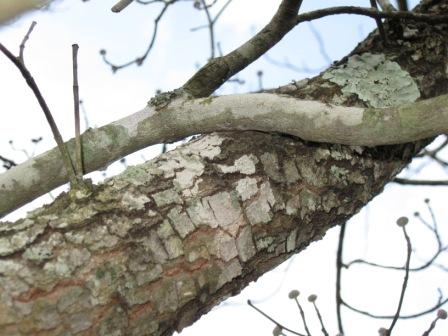 Vitex viburnum photo picture