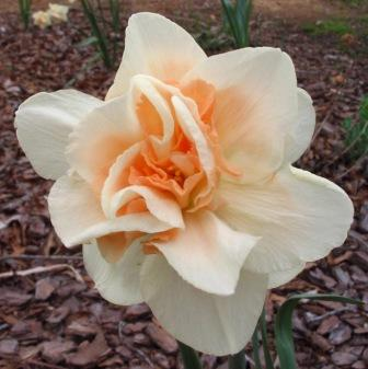 daffodil-c